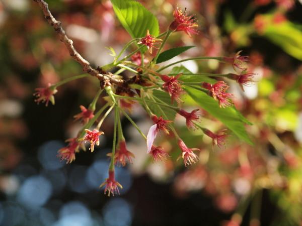 桜・二ヶ領用水20120418_06r