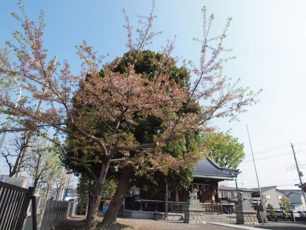 桜・二ヶ領用水20120418_03r