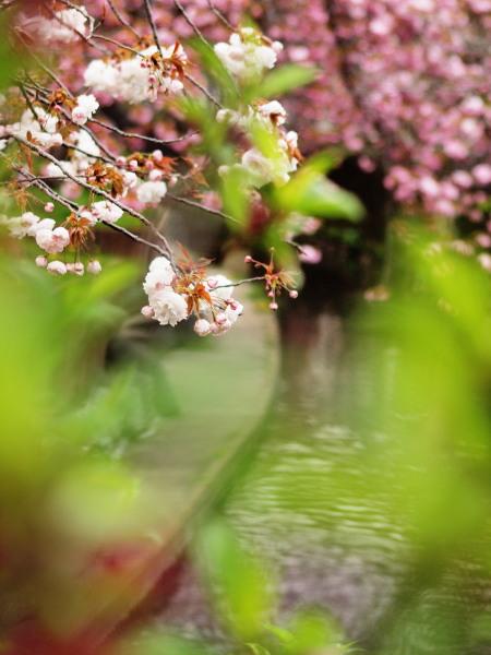 桜・二ヶ領用水20120418_146tr