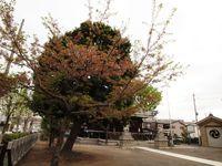 桜20120419_49r
