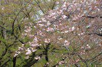 042108白山神社八重桜白