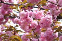 0425F008白山神社八重桜ピンク