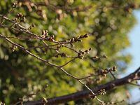 新城神社 桜20120327_05r