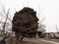 新城神社 桜20120330_02r-1