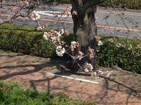 Sakura12.04.05-01