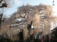 IMG_0078須賀神社のエドヒガン桜_1