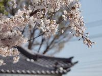 新城神社桜20120409_04r
