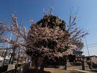 新城神社桜20120409_01r
