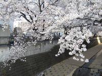 麻生川橋上流左岸4月10日