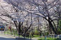 040805白山神社桜トンネル