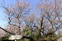 041005黒川樹齢400年の山桜