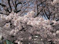 IMG_0003渋川の今井桜_1