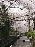 IMG_0014渋川の今井桜_1