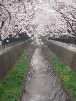 山口橋上流 4月11日