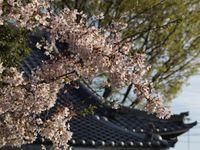 神社桜20120412_07r