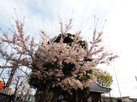 神社桜20120413_04r