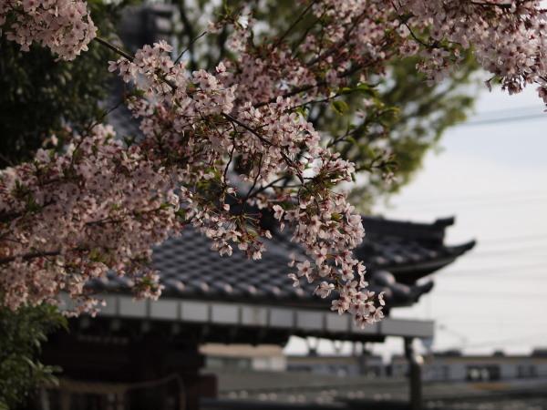 神社桜20120413_10r