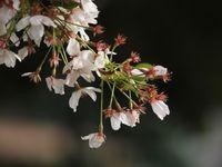神社桜20120413_11r