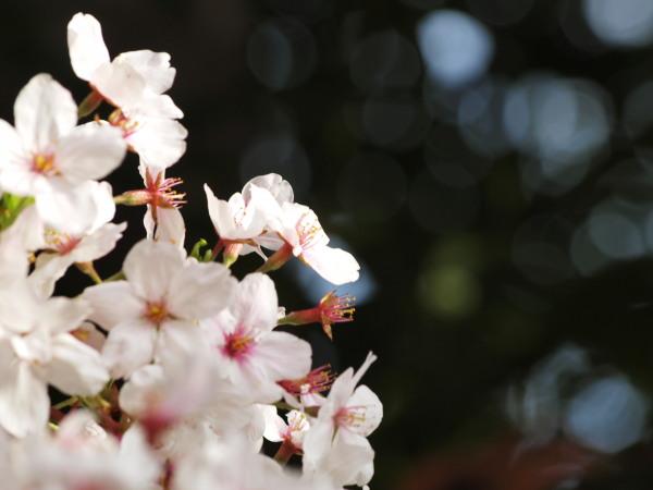 神社桜20120413_19r