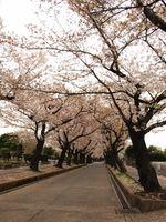 桜20120413_74r