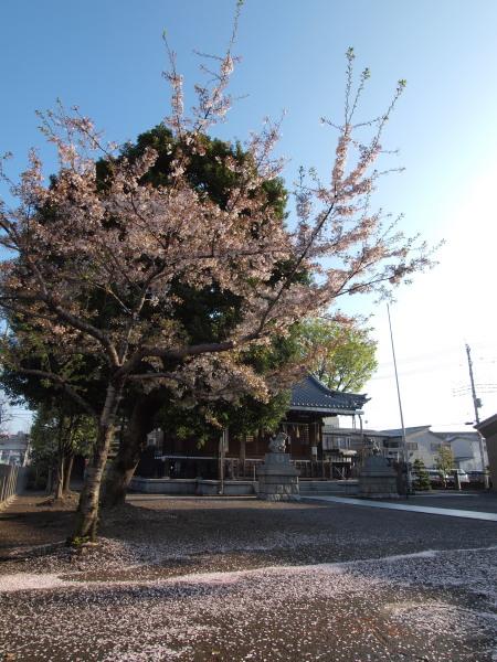桜20120415_05r