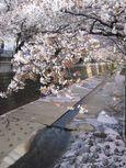麻生川橋上流左岸花弁の溜り