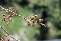 041508白山神社八重桜