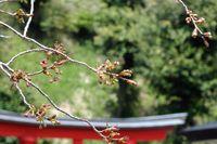 041509白山神社八重桜