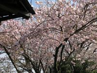 IMG_0003法雲寺の八重桜_1