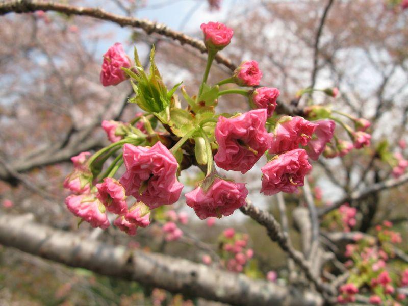 IMG_0003麻生川の八重桜_1
