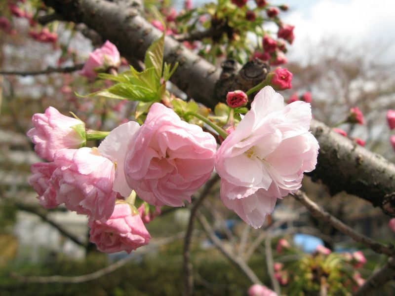 IMG_0010麻生川の八重桜_1