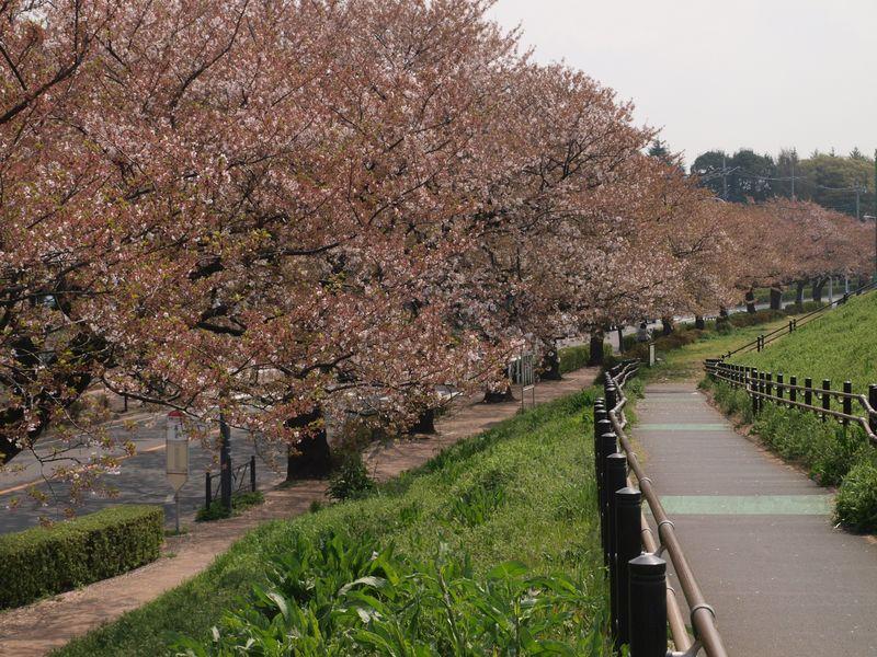 Sakura12.04.17-02