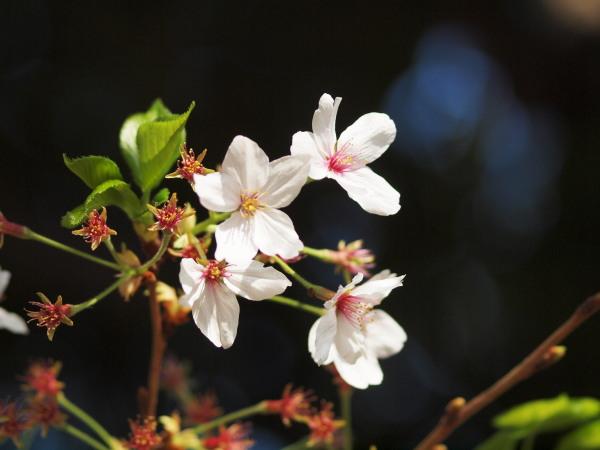 桜・二ヶ領用水20120418_14r