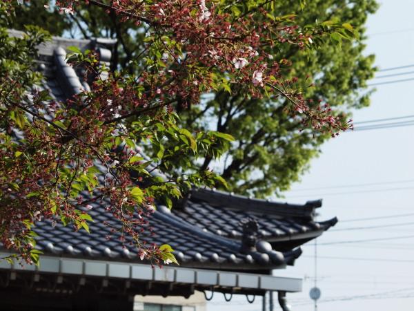 桜・二ヶ領用水20120418_05r