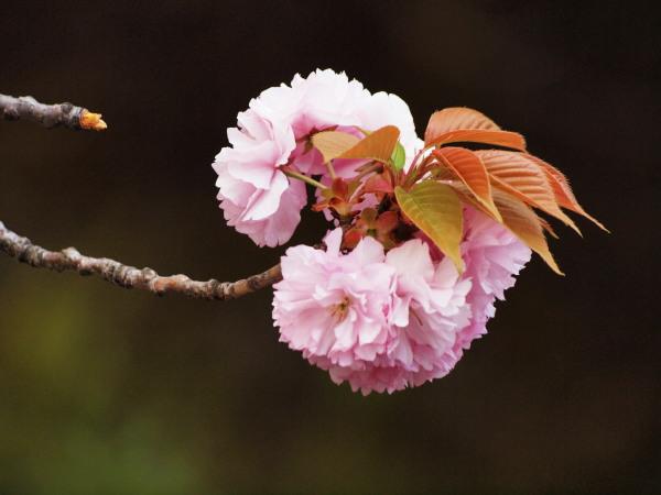 桜・二ヶ領用水20120418_138tr