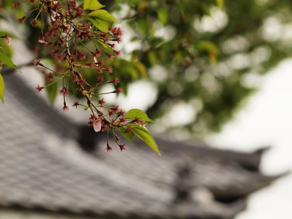 桜20120419_51r