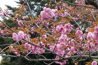 042109白山神社八重桜ピンク