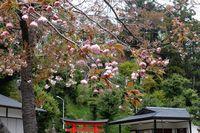 042110白山神社八重桜ピンク
