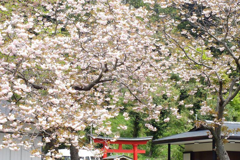 0425F005白山神社八重桜白