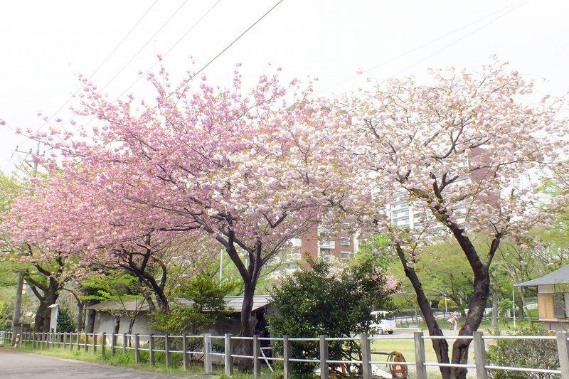 0425F009白山神社回りの八重桜