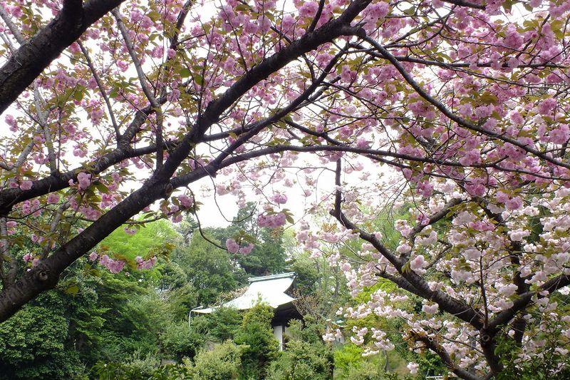 0425F010白山神社回りの八重桜