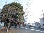 20130319新城神社サクラ02