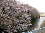 20130320二ケ領用水サクラ全景