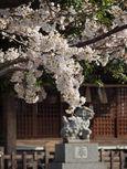 20130322新城神社サクラ02