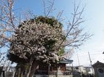 20130322新城神社サクラ01