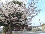 20130323新城神社サクラ01