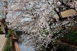 20130324二ケ領本川サクラ02