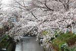 20130324二ケ領橋本・台和橋サクラ09