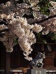 20130326新城神社サクラ01