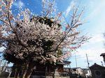 20130326新城神社サクラ04